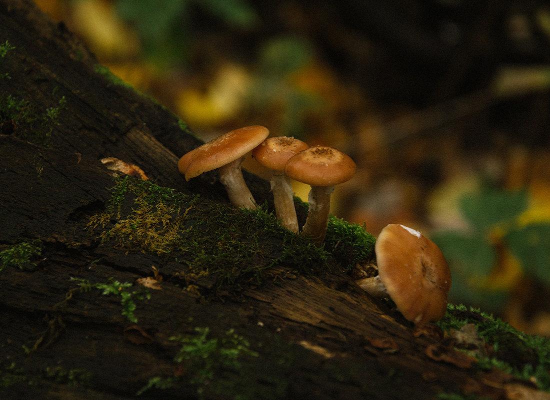 Опята в Рязанском лесу - Ирина Демидова