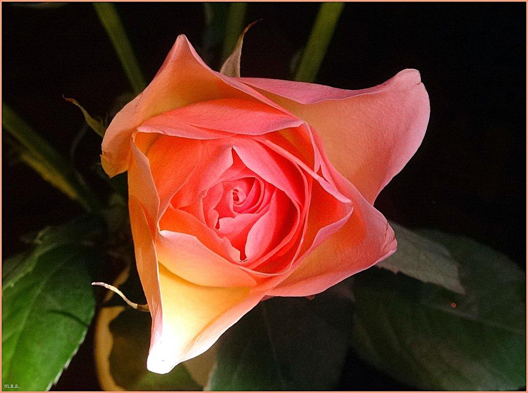 Роза - Вера