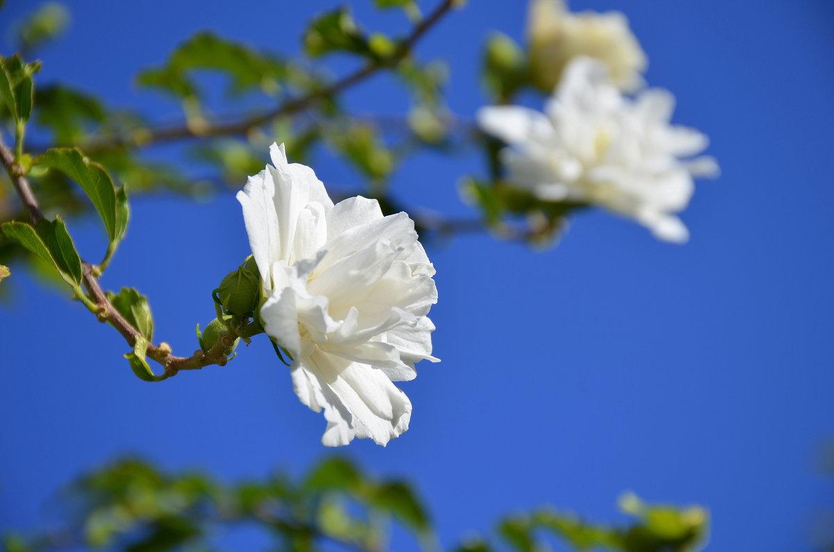 Белый куст маленьких роз.(садовый гибискус) - Оля Богданович