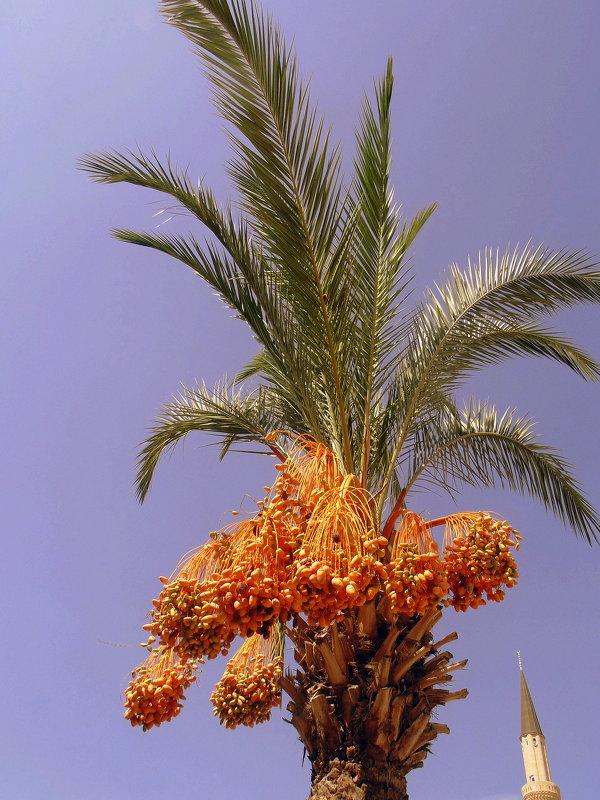 Финиковая пальма. - Мила Бовкун