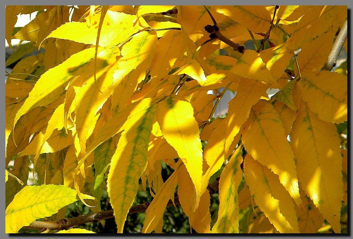 листья  жёлтые  ...   осень  2016. - Ivana