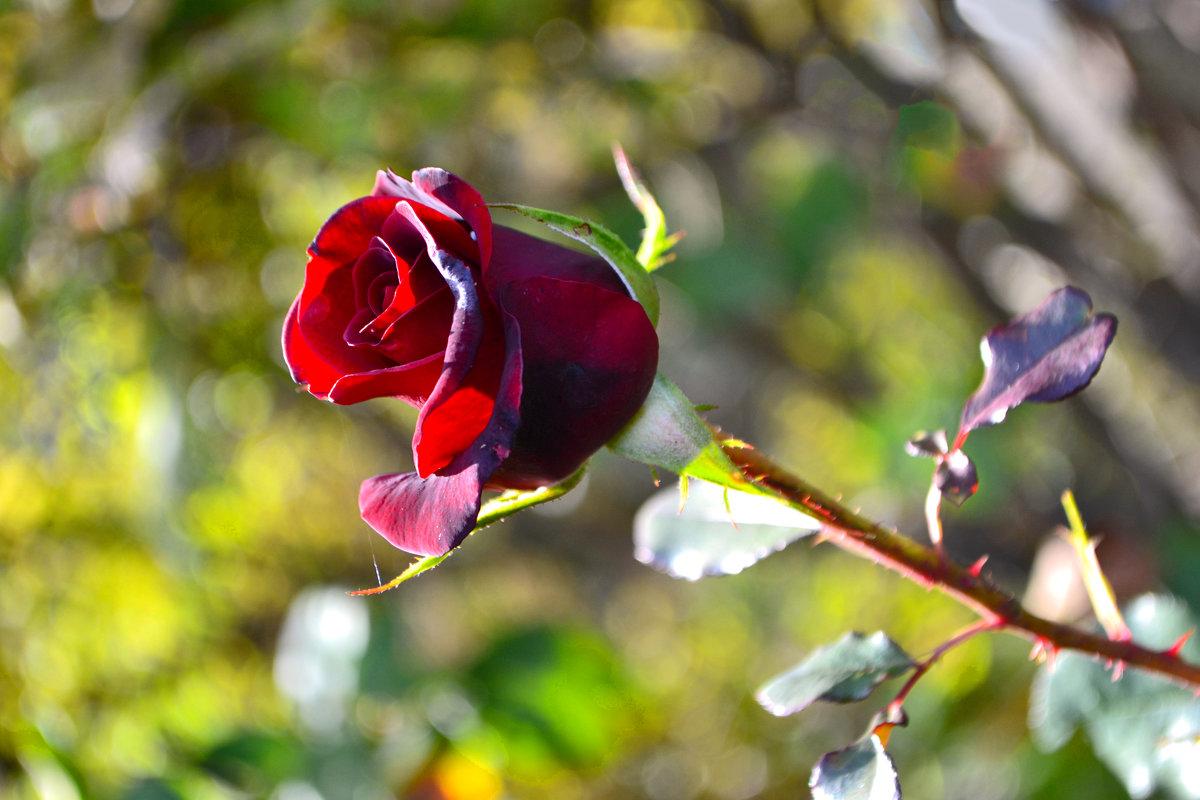 Роза октября - Nina Streapan
