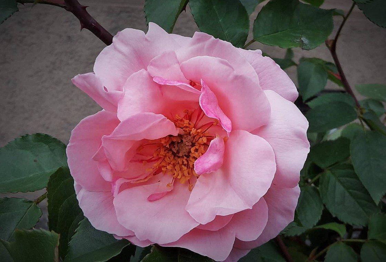 роза - kuta75 оля оля