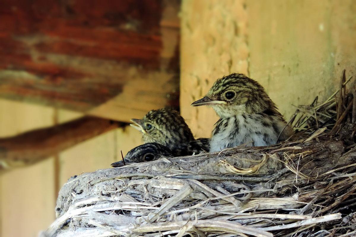 Птенцы мухоловки - Наталия