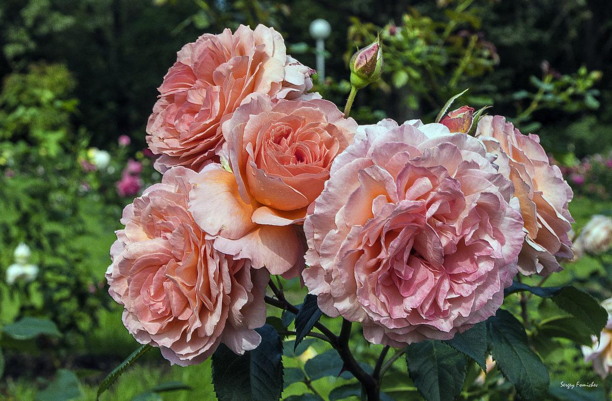 Розы(2) - Сергей Фомичев