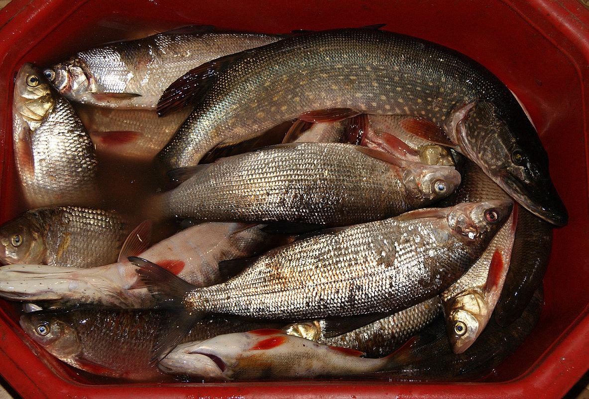Рыба,картошка,грибы да ягоды-основная пища местных аборигенов. - Евгений Усатов