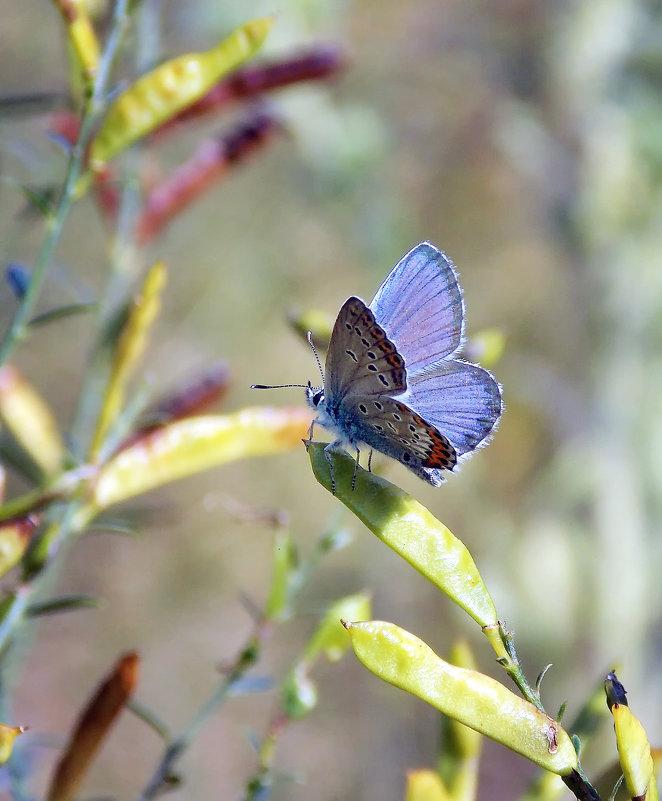 Голубянка горошковая - лиана алексеева