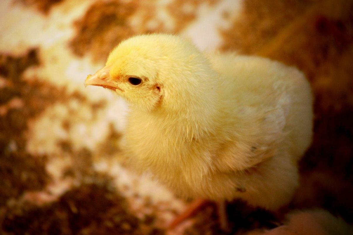 цыпленок - Кристина Громова