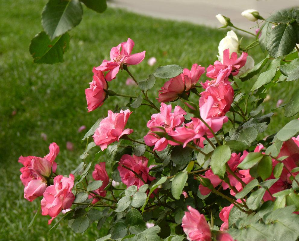Розы мая - Наталья Джикидзе (Берёзина)