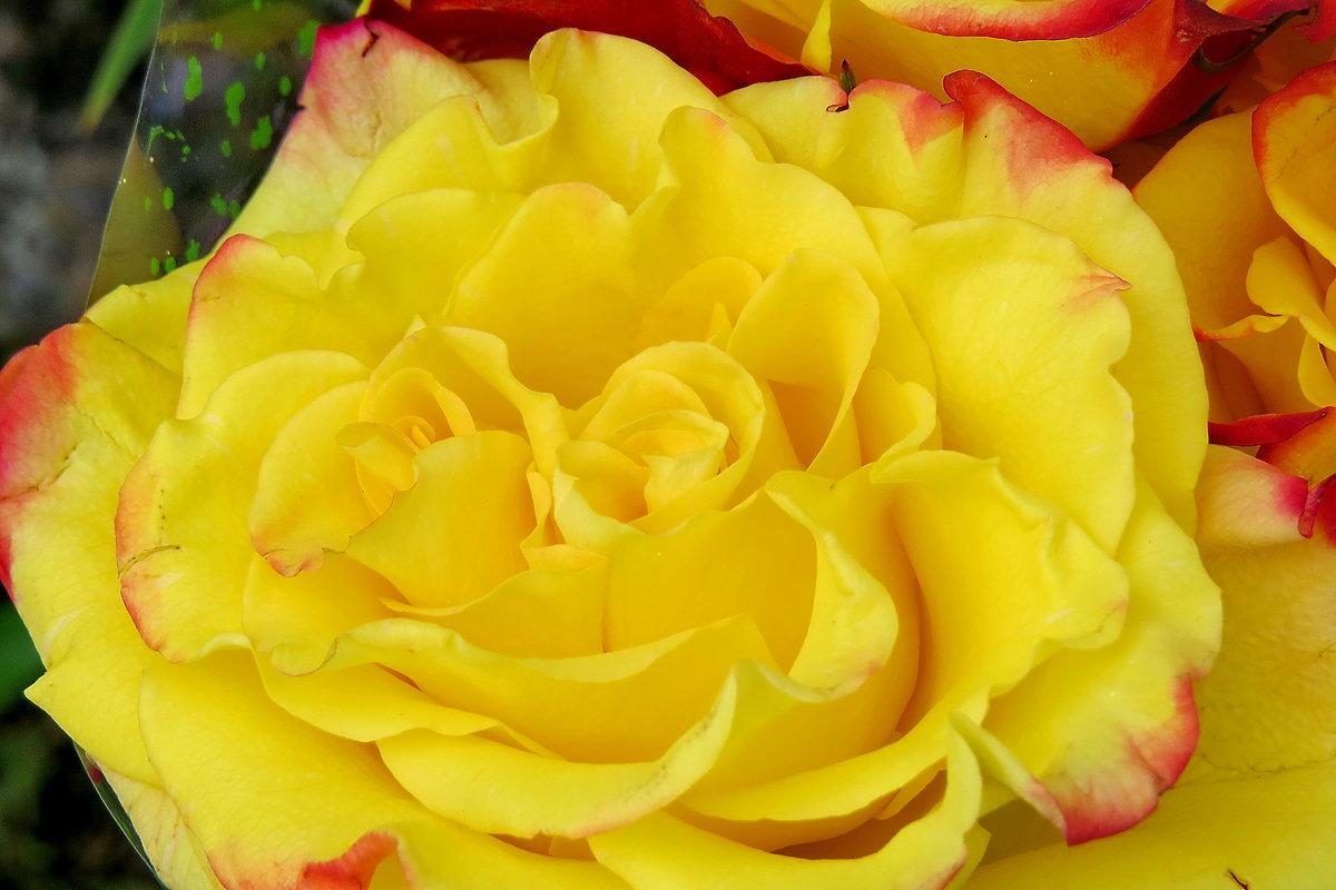 Жёлтые розы... - Светлана
