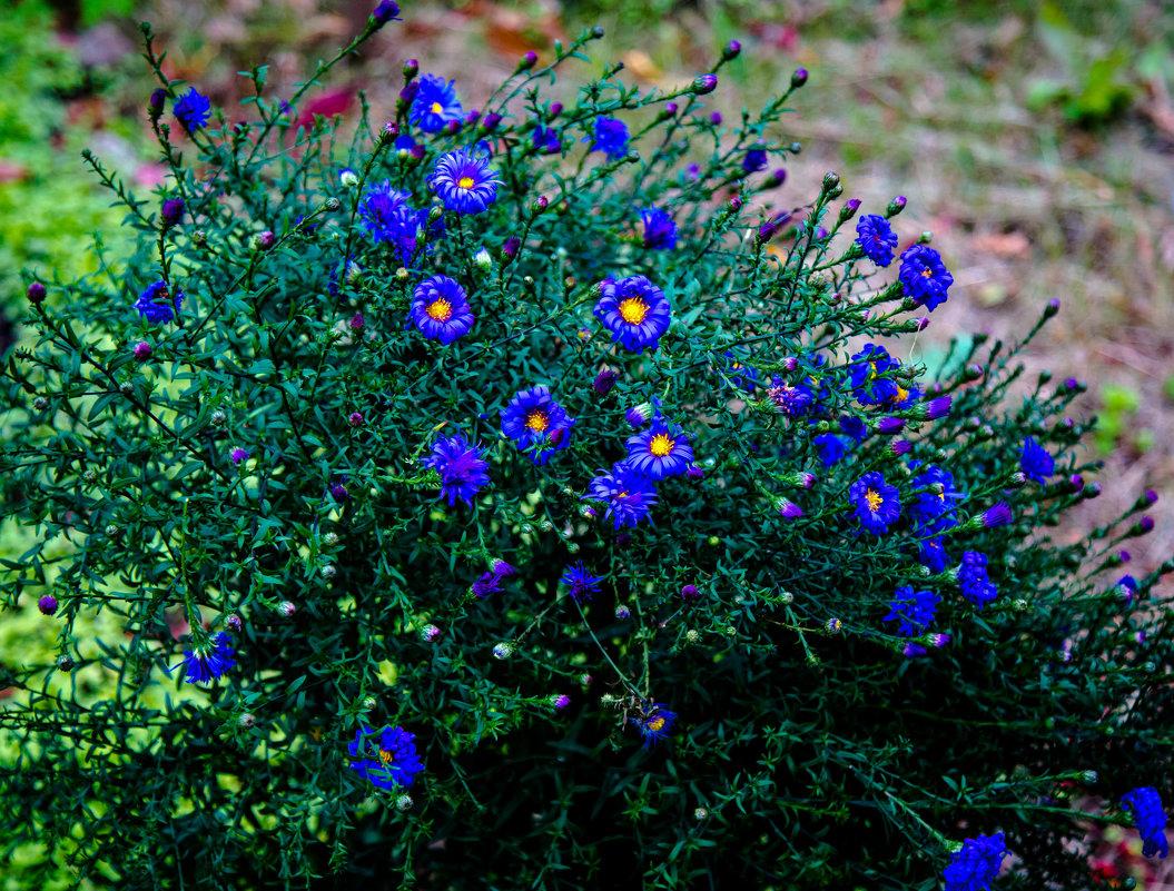 цветы в моем саду. - Валерий Гудков