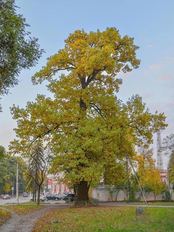 Столетний дуб - Сергей Тарабара