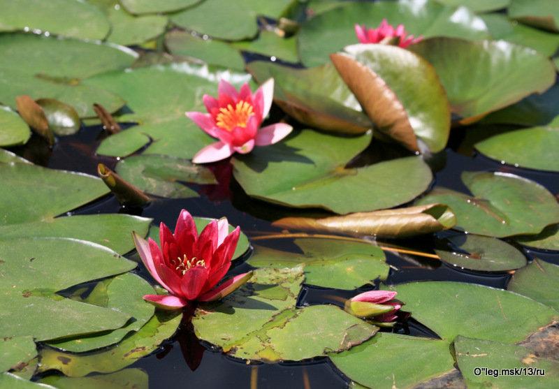 цветы на воде - Олег Лукьянов