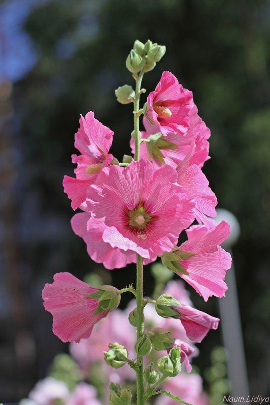 Розовая нежность - Лидия (naum.lidiya)