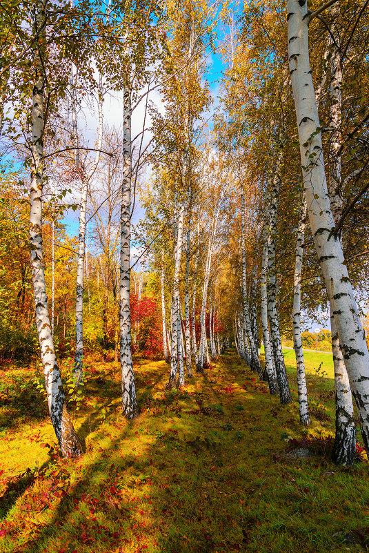 Осень в берёзах - Вадим