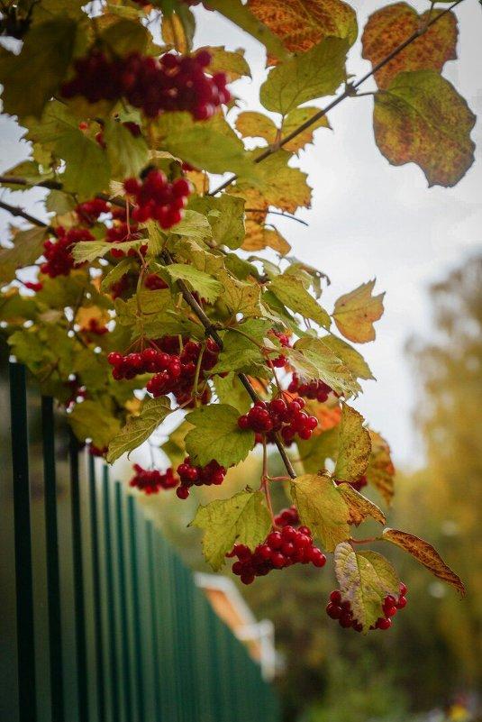 Алая гроздь рябины - Настя