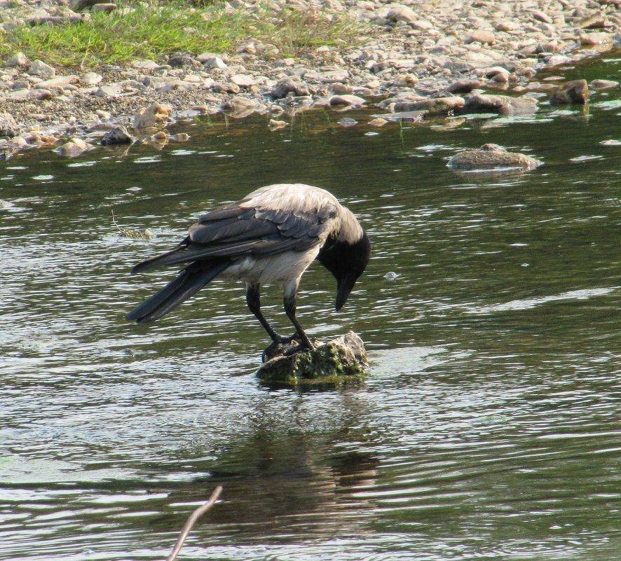 Ворона-рыболов - Вера Щукина