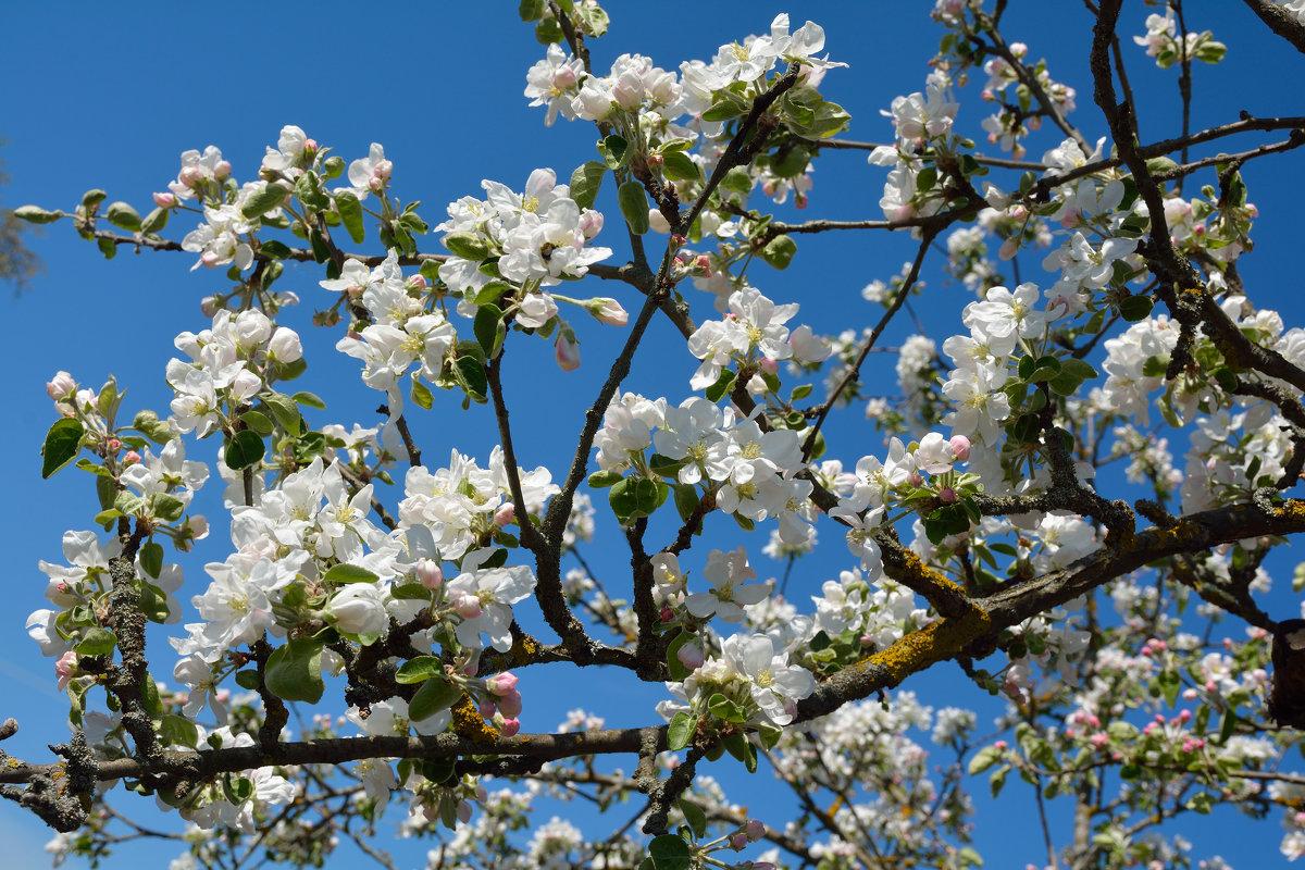 Весны цветенье... (этюд 8) - Константин Жирнов