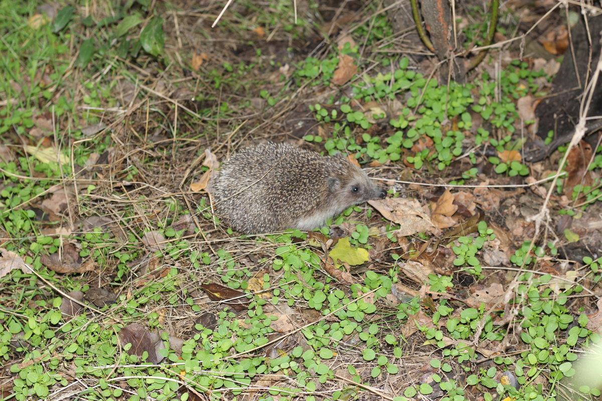 Маленький ежик, четвероножек, по лесу идет, идет, фыфки собирает, песенку поет)))) - vcherkun