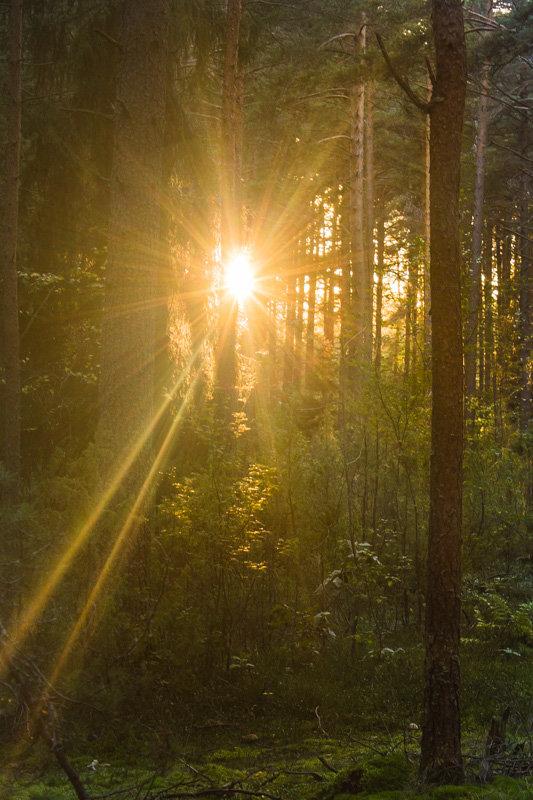 Вечернее солнце сквозь деревья - Людмила Быстрова