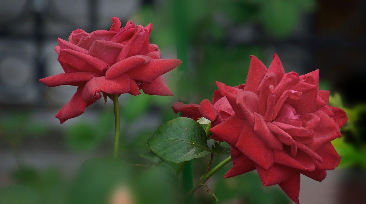 Монастырские розы. - kolin marsh