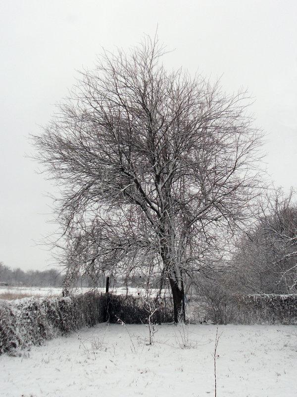 Дерево в снегу - Oleg Arince