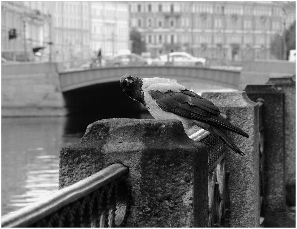 портрет вороны у Синего моста - sv.kaschuk