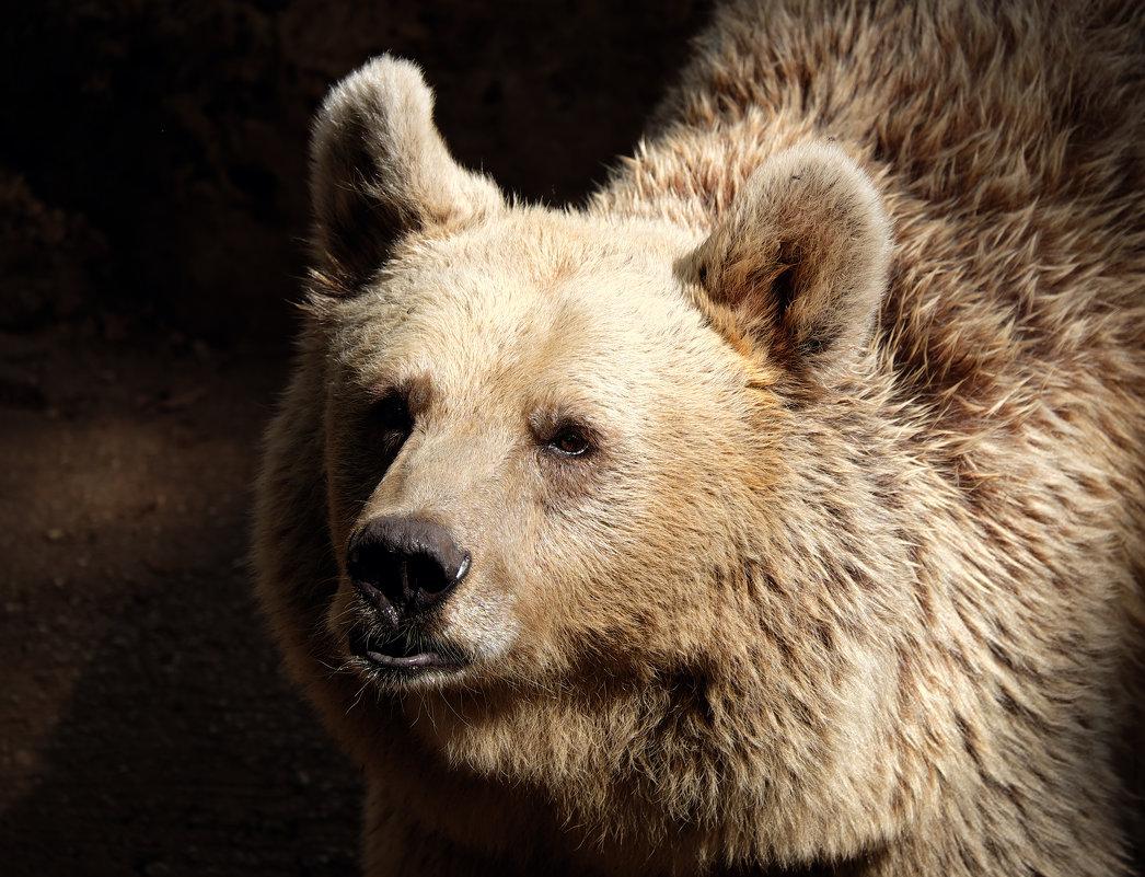 медведь сирийский - Александр Деревяшкин