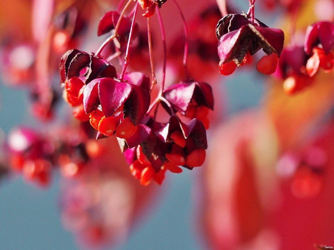 Осенний бересклет - Swetlana V