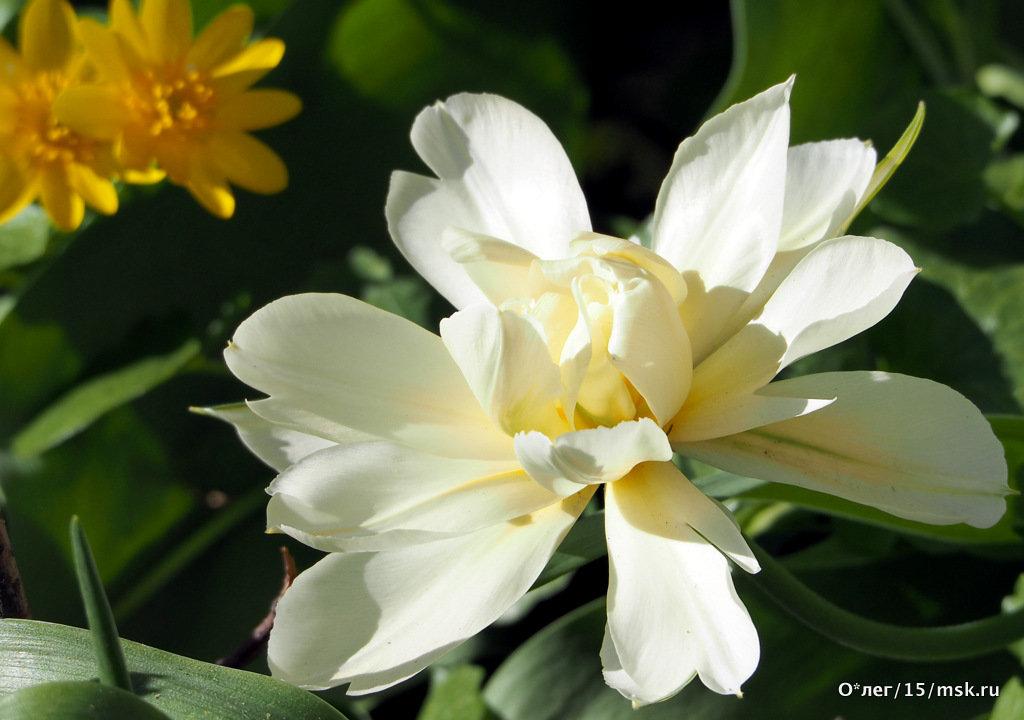 городские цветы-тюльпан - Олег Лукьянов