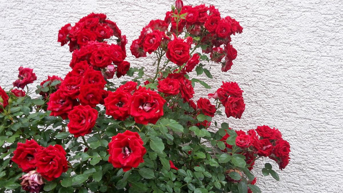 розы - kuta75 оля оля