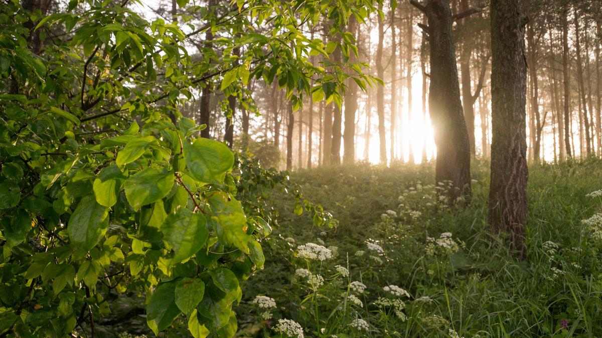 В утреннем лесу - Олег Козлов