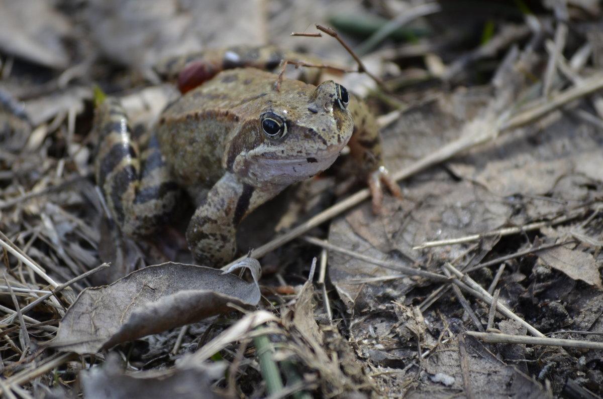 царевна-лягушка - вген03