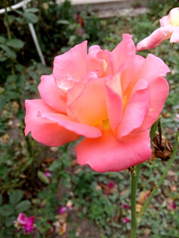 роза красавица - Антонина Владимировна Завальнюк