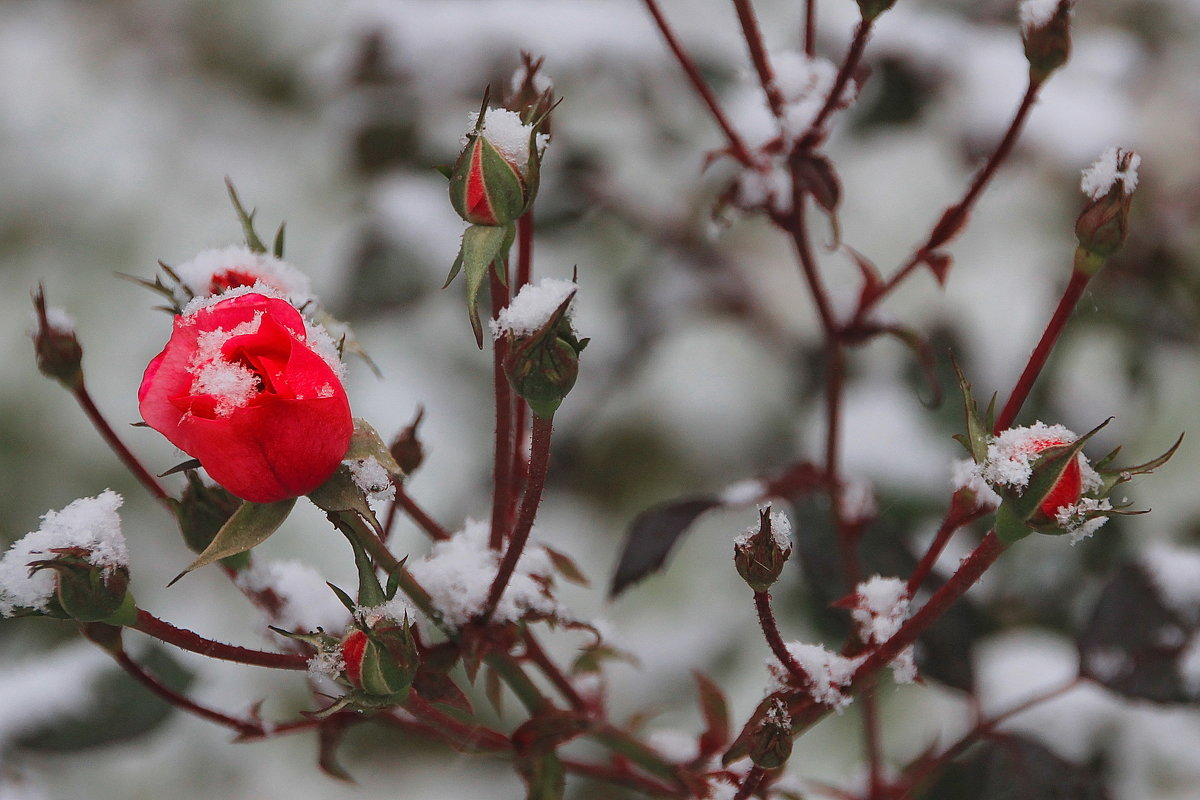 Ах, эта  роза в снежных пламенных объятьях… - Tatiana Markova