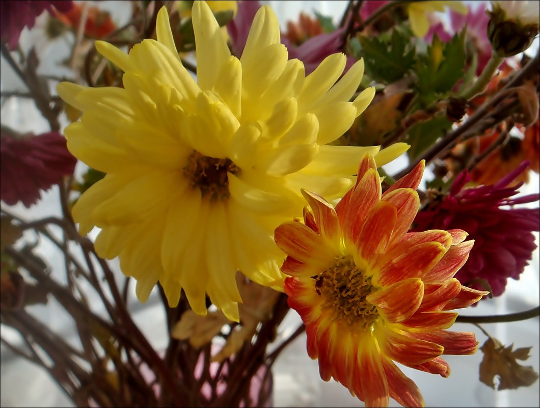 Хризантемы из букета - Нина Корешкова