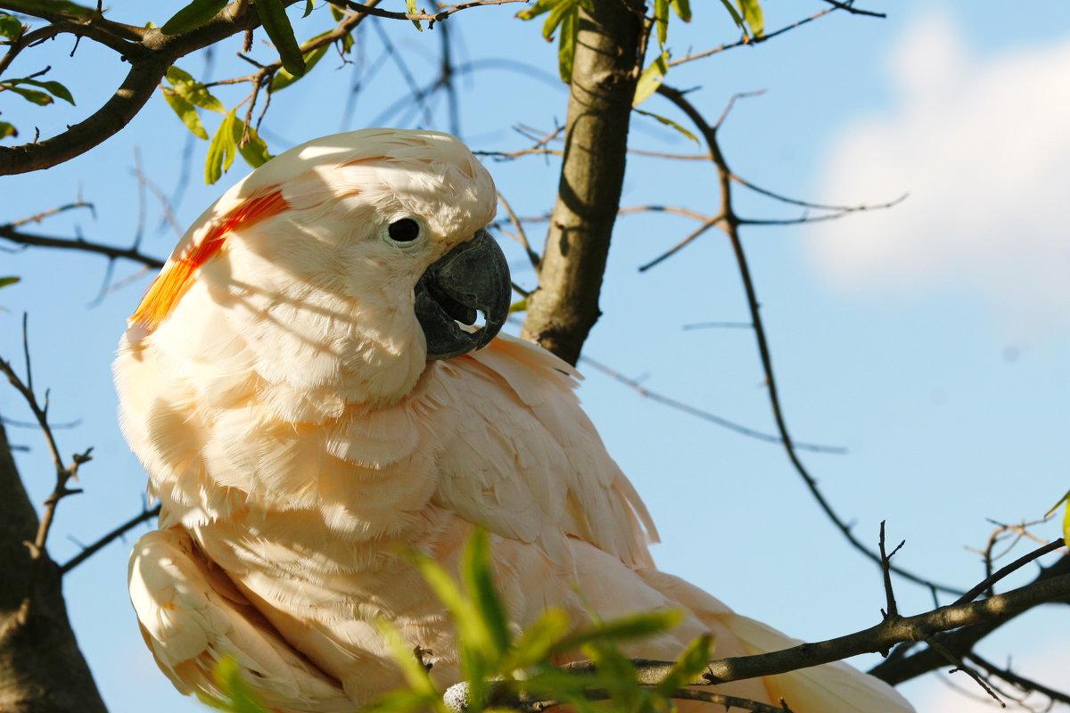 Попугай какаду - Мария Самохина