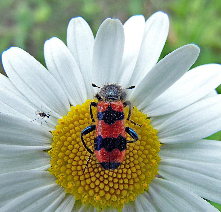 Пестряк пчелиный! - Наталья