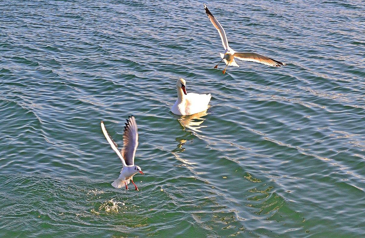 Лебедь и чайки - Виктор Шандыбин