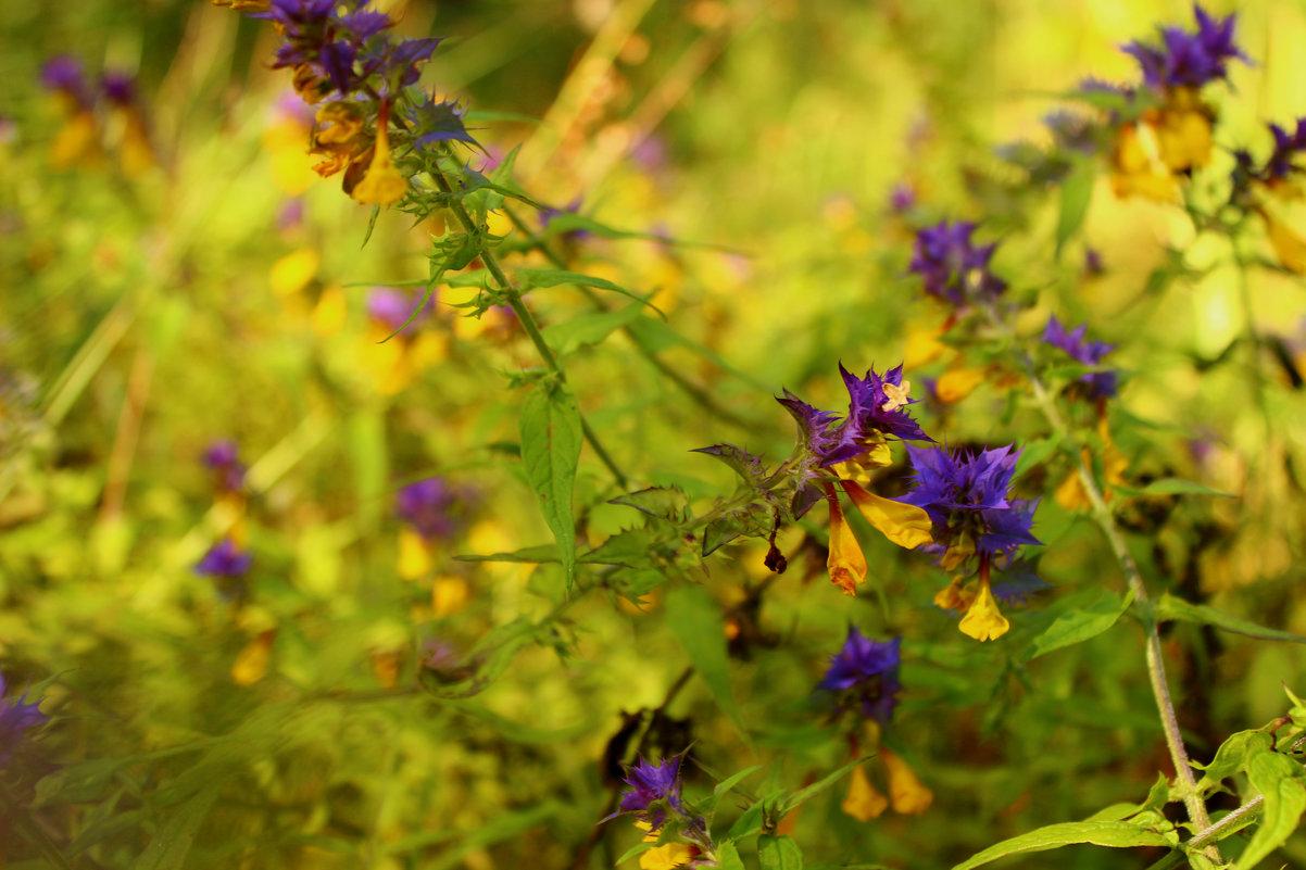 луговые цветы - оксана