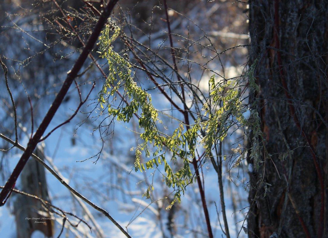 Декабрьская зелень - MaOla ***
