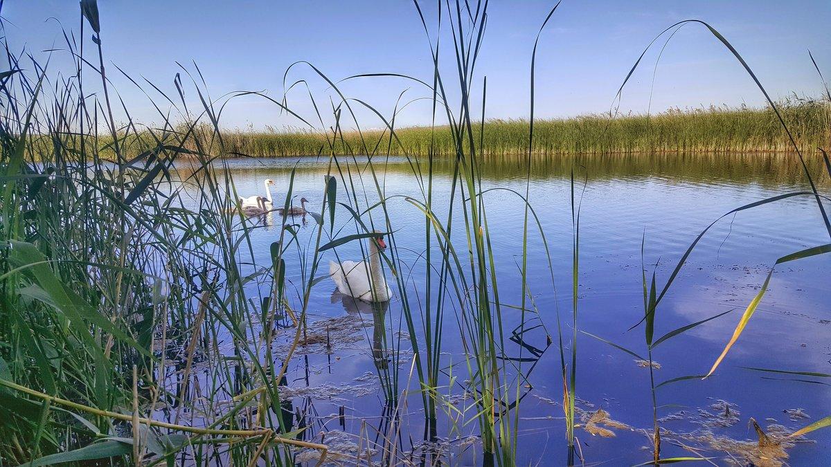 Лебединая семья на озере. - Игорь Карпенко