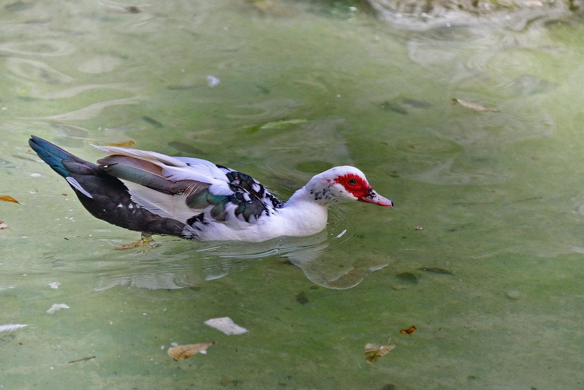 Мускусная утка, Национальный парк в Афинах - Владимир Брагилевский