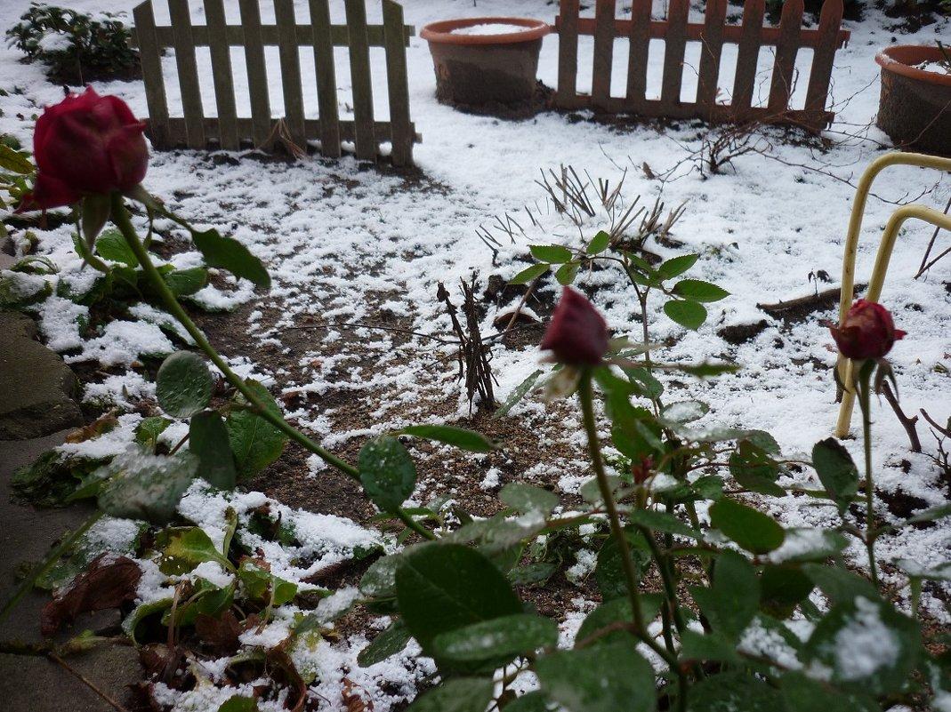 розы и снег - Oxi --