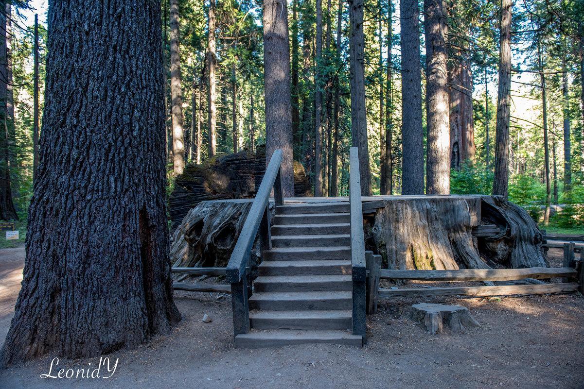 The Big Trees Park, California - Leonid