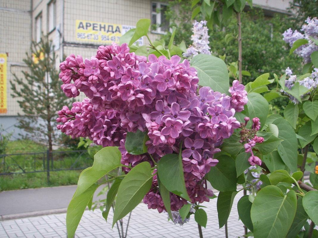 Сирень - Светлана