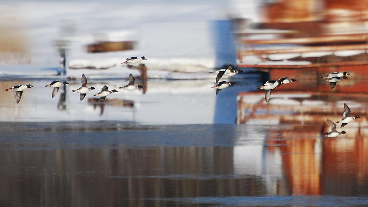 полет гоголей - linnud