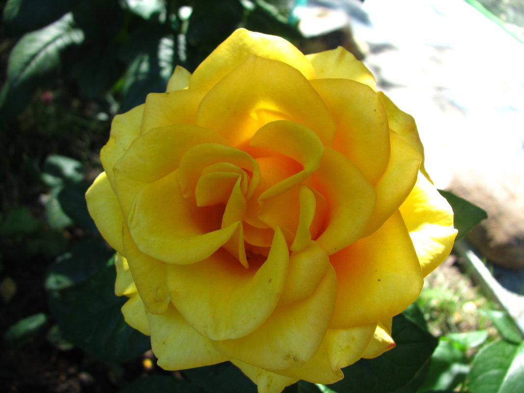 Жёлтая роза. - Дмитрий Львович Чёткин