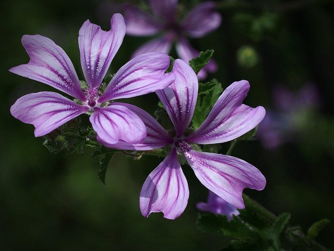 Фиолетовый дуэт - Swetlana V