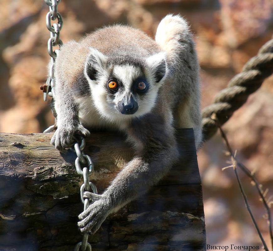 обезьяна - Laryan1